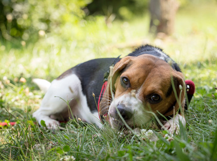 Beagle Price: ₹8,000 - ₹16,000