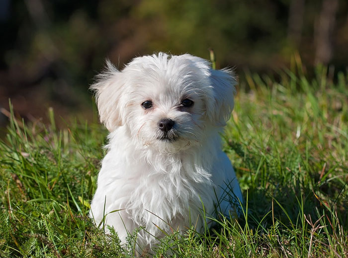 Maltese Dog Price: ₹50,000 - ₹1,25,000