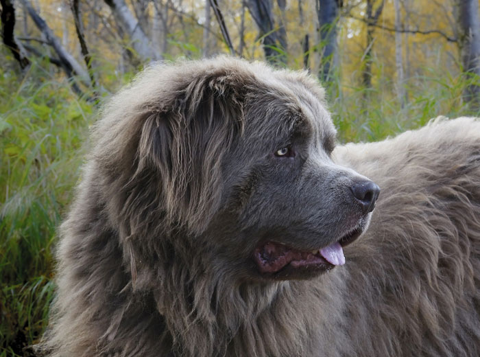 Newfoundland Dog Price: ₹2,00,000 - ₹3,50,000