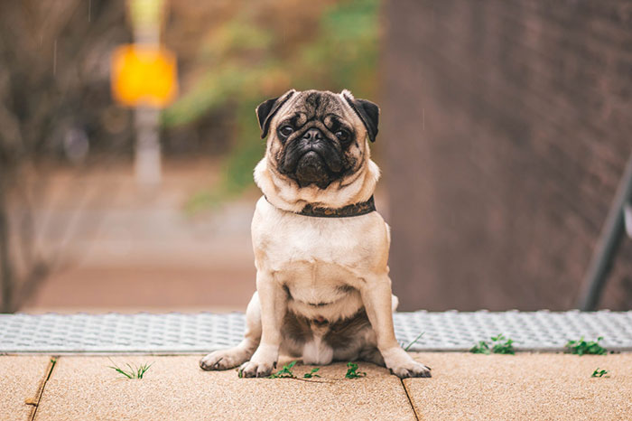 pug dog prices india