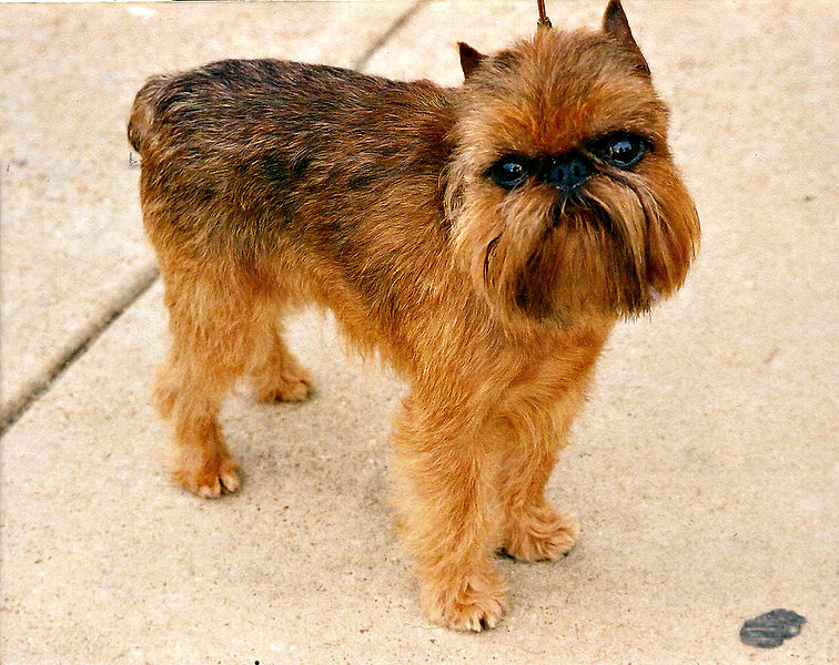 Brussels Griffon dog price