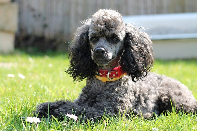 Poodle in India