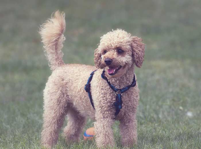 Poodle Price: ₹30,000 - ₹40,000
