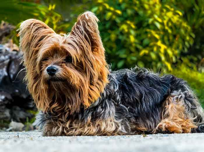 Yorkshire Terrier Price: ₹35,000 - ₹45,000