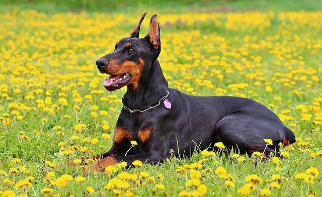 Doberman dog price india