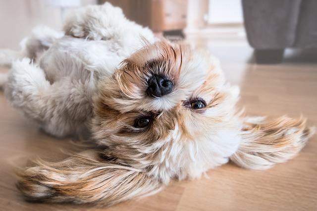 lhasa dog price in india