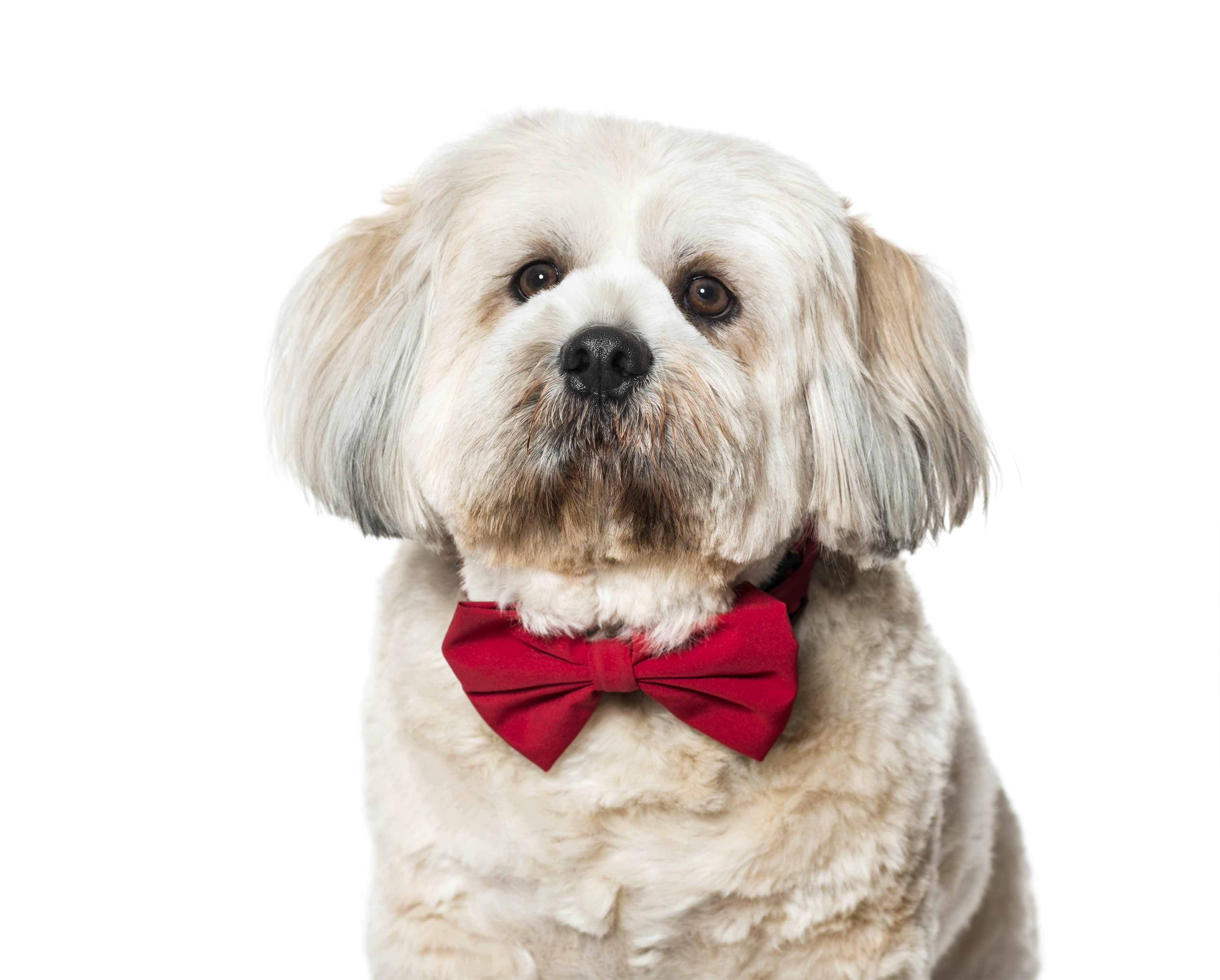 lhasa-apso-in-bow-tie-against-white-background-HG64Q8Y-min