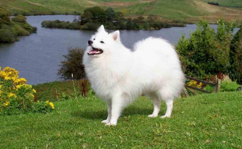 spitz dog price