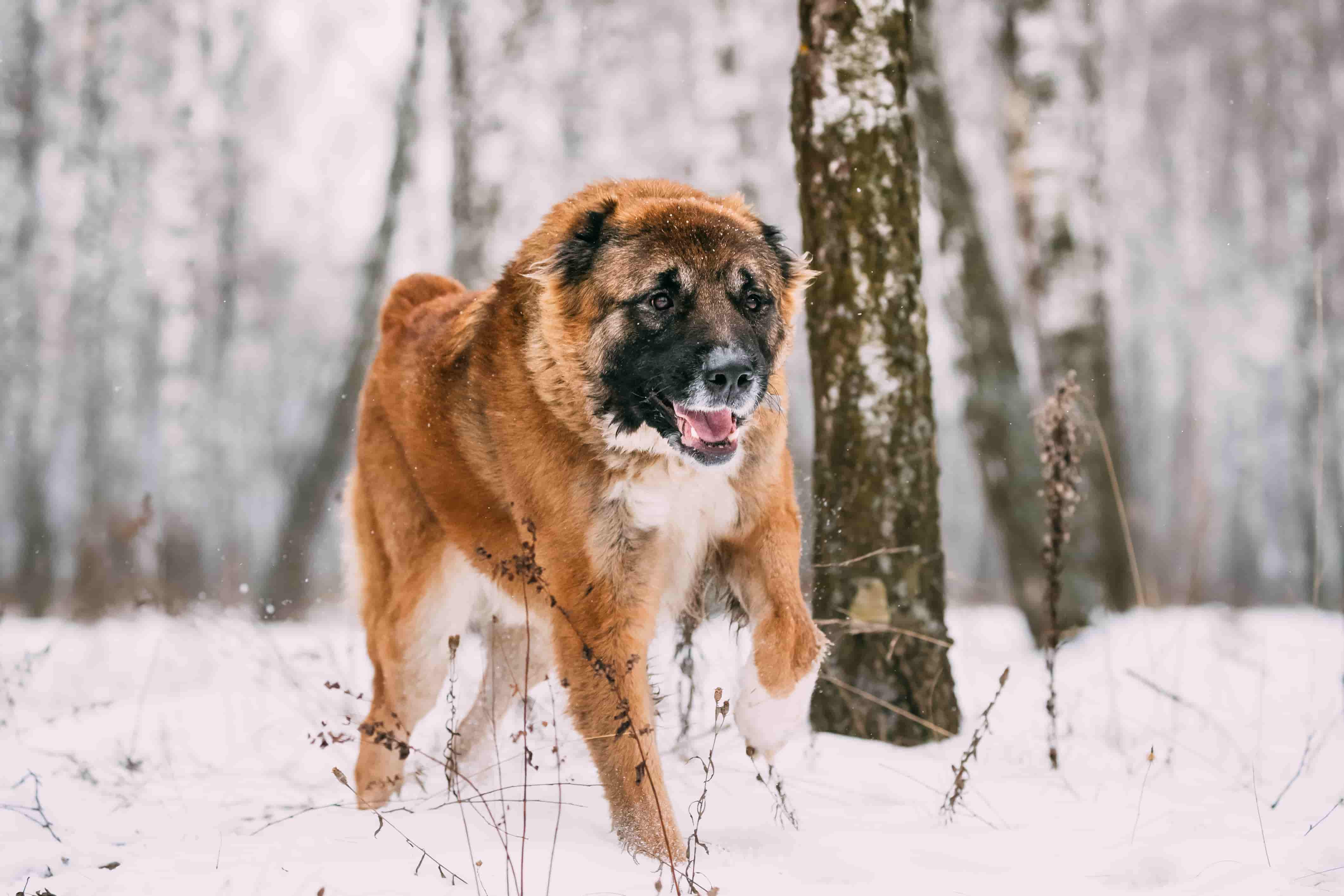 caucasian-shepherd-dog-running-outdoor-in-snowy