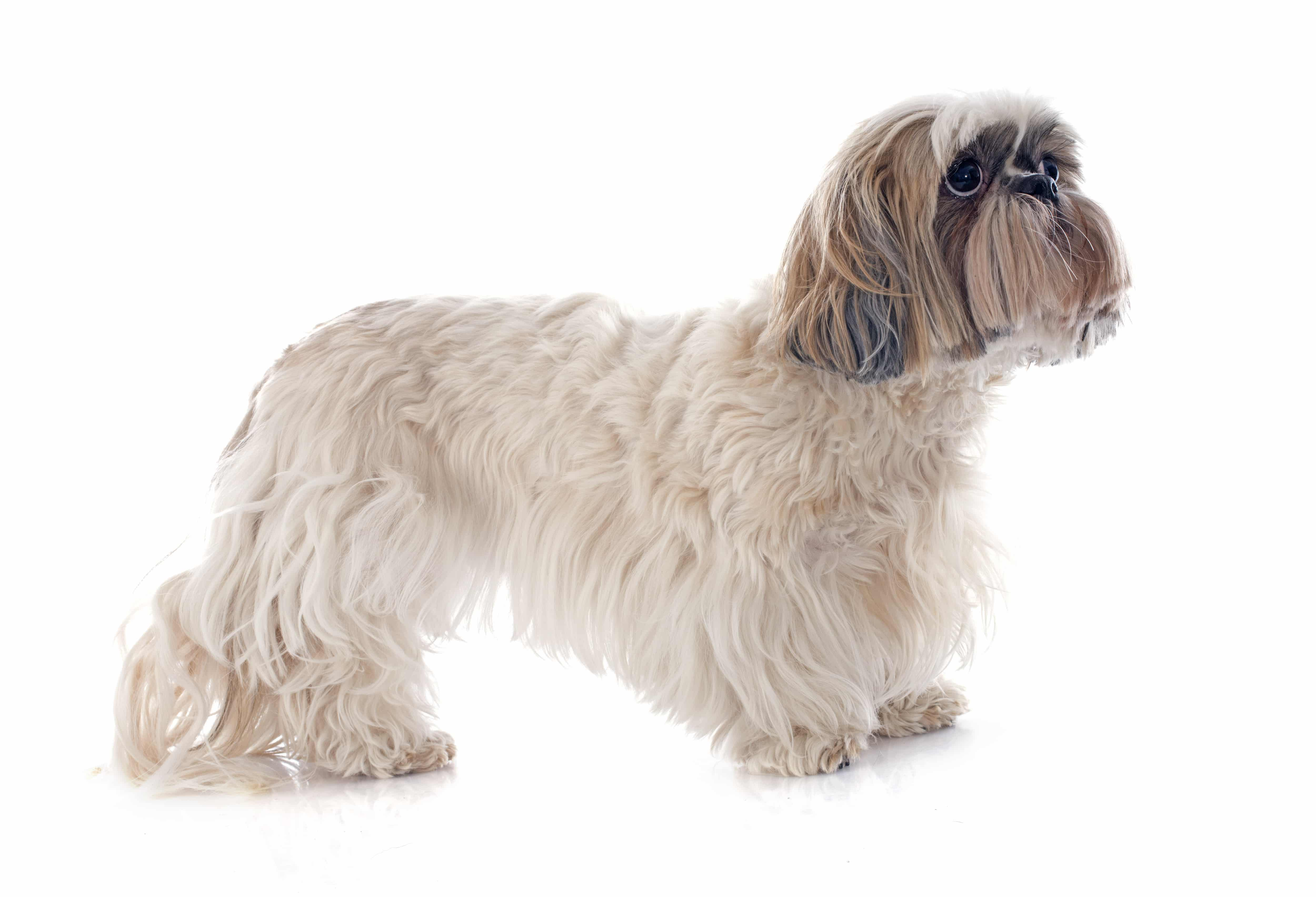 shih-tzu dog price in india
