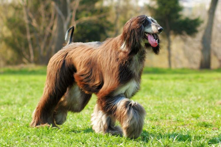 Afghan Hound in India