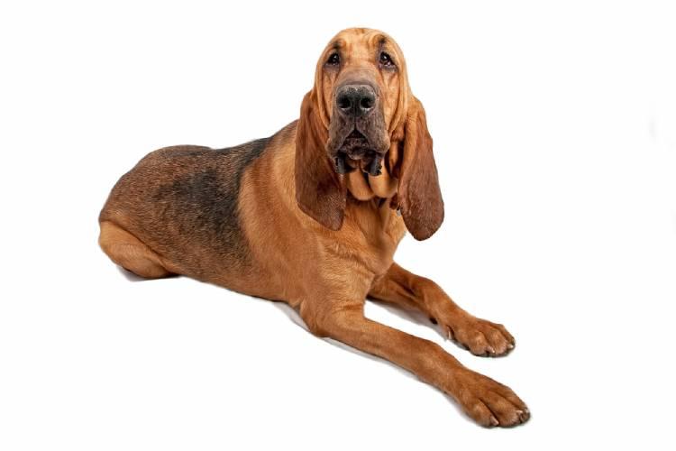 Bloodhound Dog in India