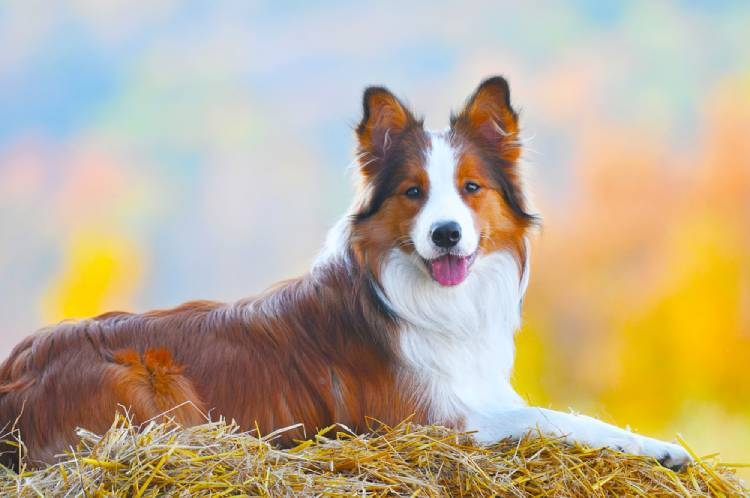 Border Collie Dog in India