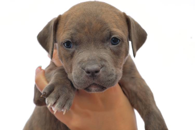 Red Nose Pitbull Terrier Puppy