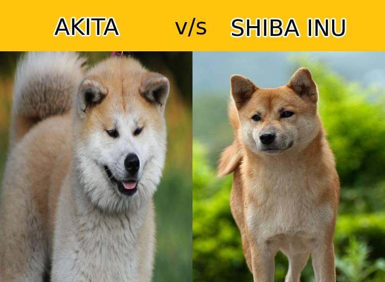 Akita vs Shiba Inu