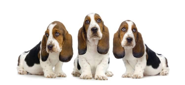 Basset Hound Puppies
