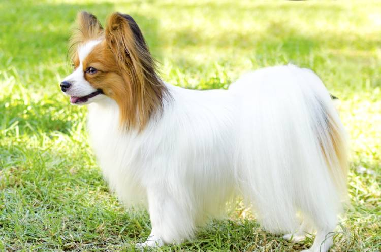 Papillon Dog Breed in India