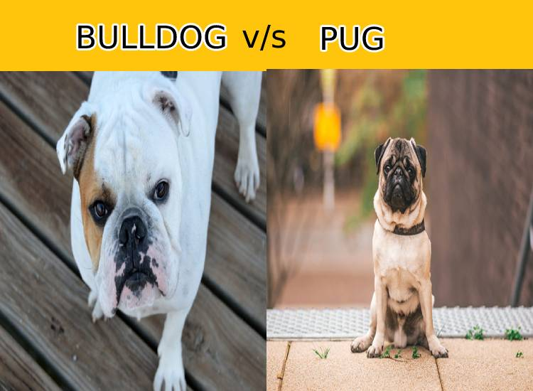 Bulldog vs Pug