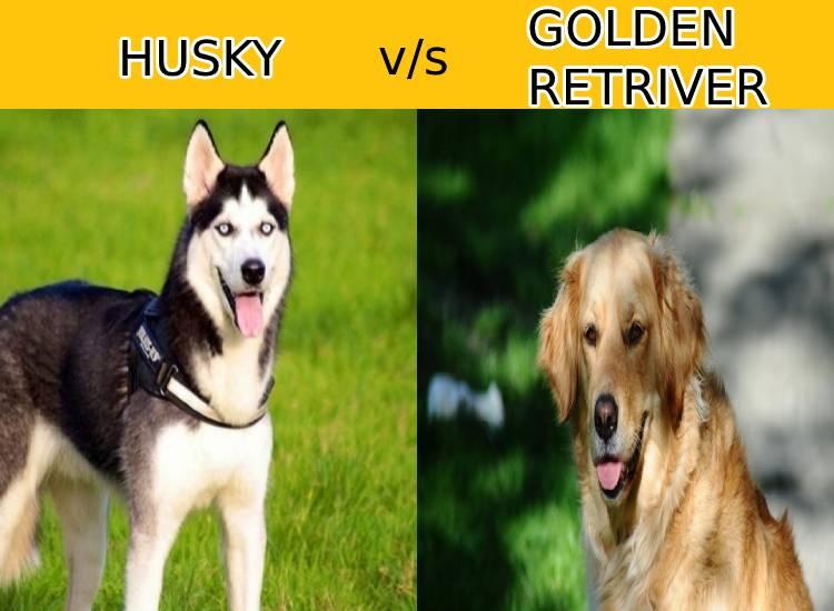 Husky vs Golden Retriver