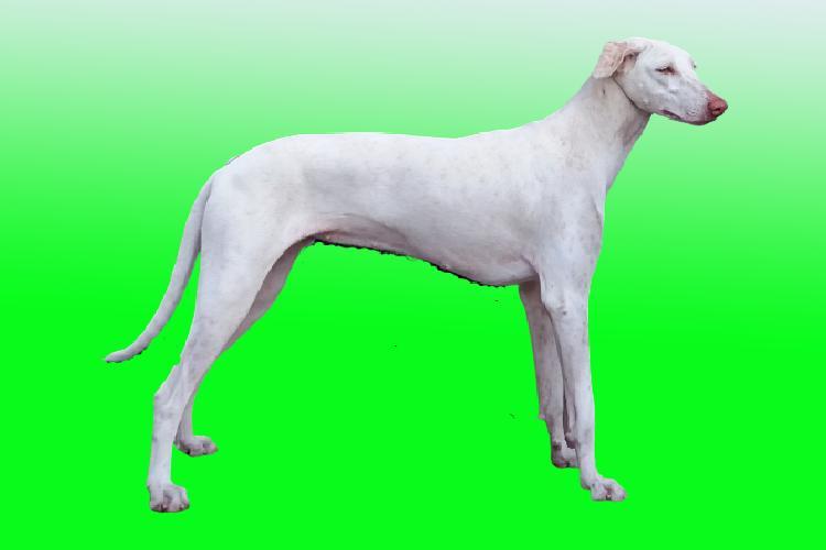 Rajapalayam Dog Price: ₹9,000 – ₹12,000